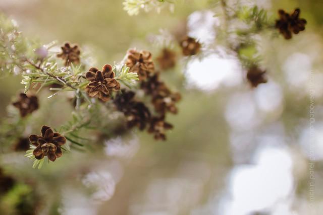 pine florets