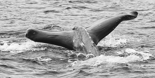 whale watching in Alaska. courtesy and copyright flickr creative commons: flickr.com/photos/cmichel67/