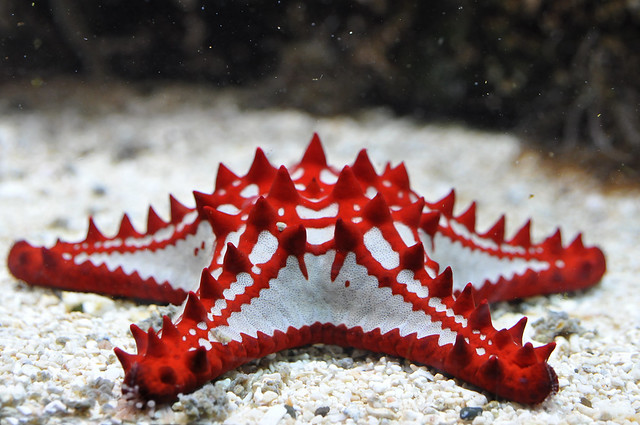 Red Knobbed Starfish Flickr Photo Sharing