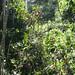 Kakum canopy walk, Ghana - IMG_1528_CR2