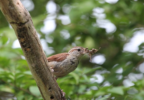 Carolina wren by ricmcarthur