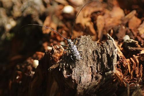 シラフヒゲナガカミキリ