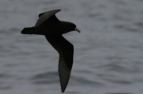 Whitechinned petrel pelagic birding with Nature Expeditions