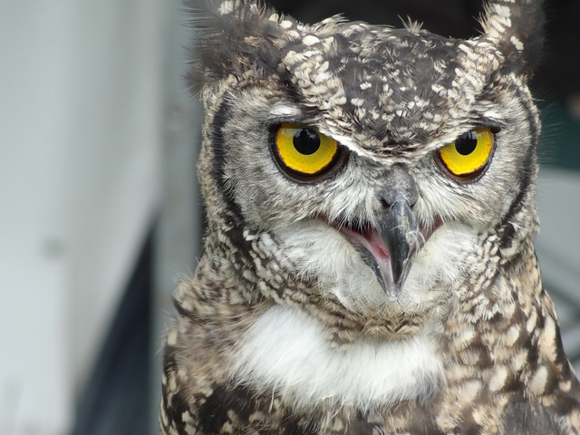 Spotted Eagle-Owl: