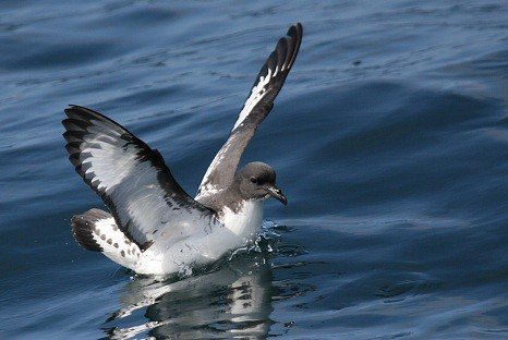 Cape petrel Pelagic birding in Peru with Nature Expeditions 02