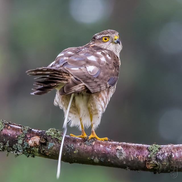 Juv.fem. Eurasian Sparrowhawk (Accipiter nisus)-2