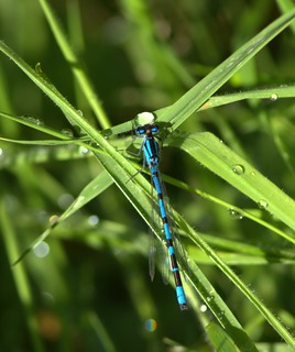 Male Damselfly