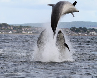 Bottlenose Dolphins - Chanonry point
