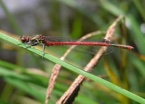 Pyrrhosoma nymphula - Large Red Damselfly - Agrion au corps de feu ou  Petite nymphe au corps de feu - 19/06/12