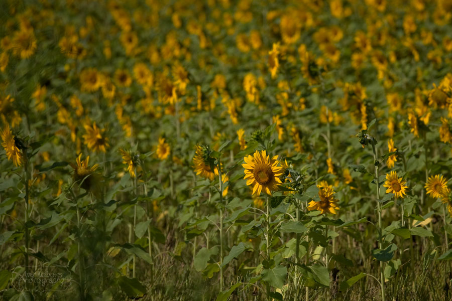 Sunflowers_Jun212012_0001