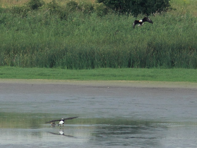 Eagles attack duck second time half sec later 20120712