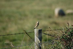 Wheatear (female) 2