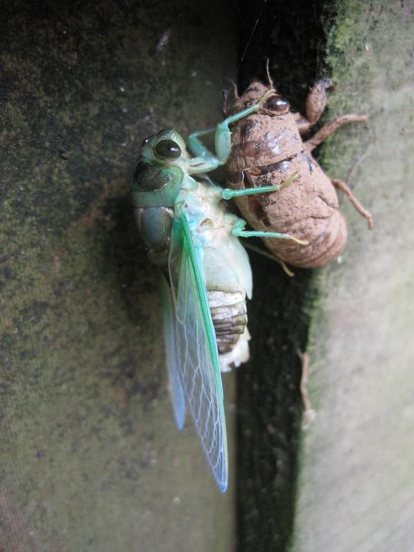 cicada no. 4