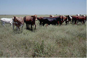 Stockers on mixed-grass prairie