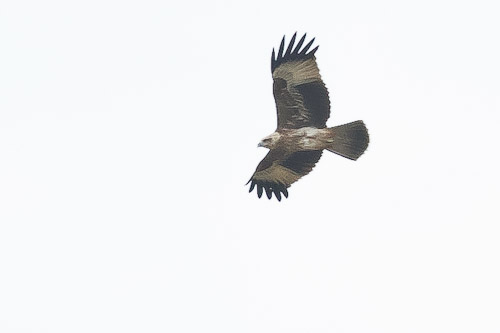 Eastern Marsh-Harrier