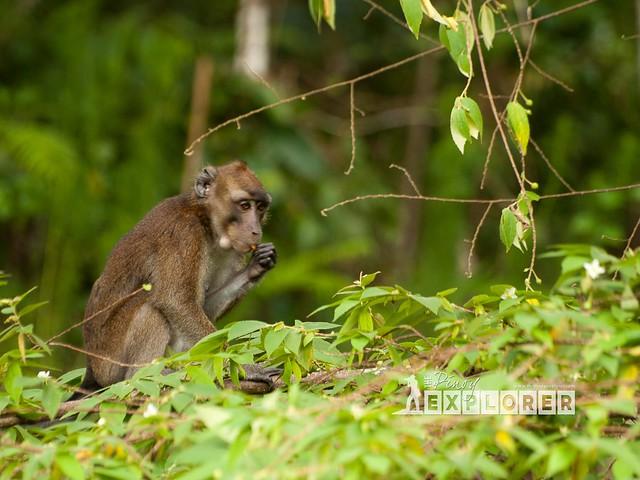 Bohol macaques
