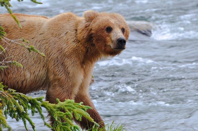 ' Peekaboo!! I am here!!!' [Katmai National Park]