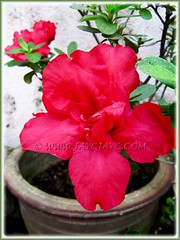 Our potted Rhododendron simsii or Azalea indica - June 24 2012