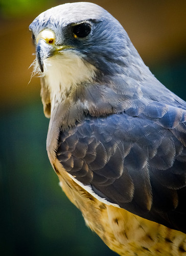 Peregrine Falcon by Ricky L. Jones Photography