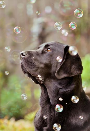 無料写真素材, 動物 , 犬・イヌ, ラブラドール・レトリバー, シャボン玉