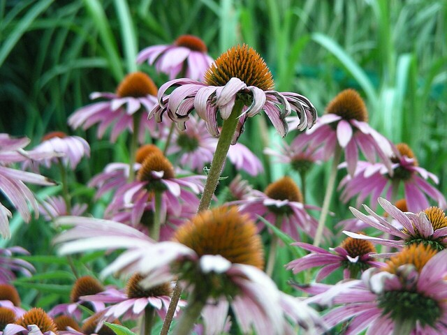 purple coneflower purpur sonnenhut echinacea purpurea flickr photo sharing. Black Bedroom Furniture Sets. Home Design Ideas