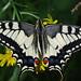 Swallowtail (Tony Daniels)