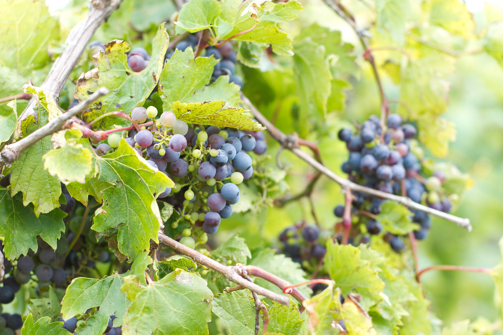 Boxelder Farm - Wine Grapes