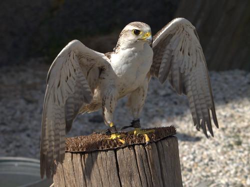 Aigle de Bonelli - Bonelli's Eagle - Aquila fasciata