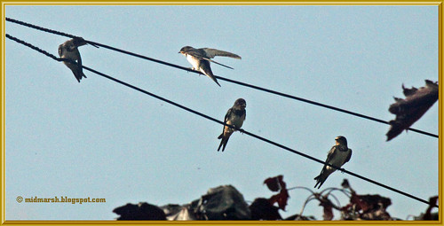 Swallows 1