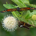 Butterflies on Buttonbush by flyfishermike