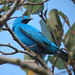 Plum-throated Cotinga - Photo (c) Félix Uribe, some rights reserved (CC BY-SA)
