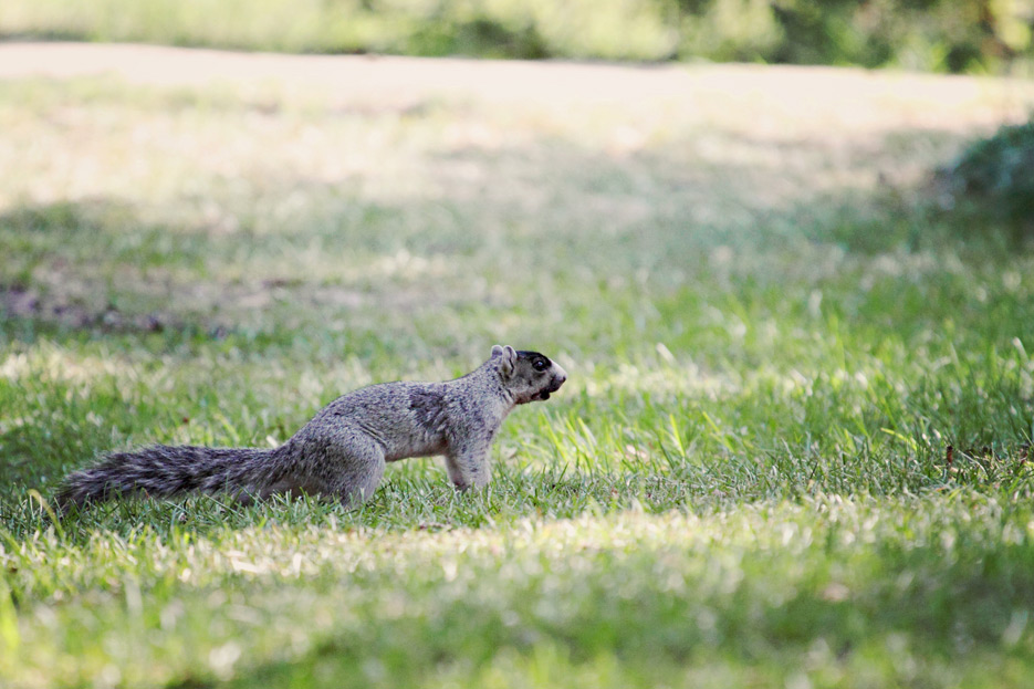 072612_09_southernFoxSquirrel