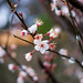 Small photo of Cherry plum blossomed