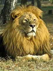 muskox(0.0), animal(1.0), mane(1.0), big cats(1.0), masai lion(1.0), lion(1.0), mammal(1.0), fauna(1.0), whiskers(1.0), wildlife(1.0),