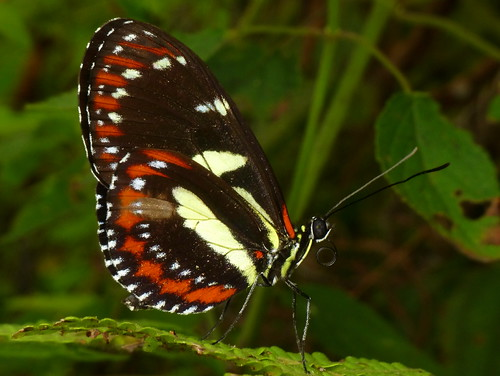 Atthis Longwing, Heliconius atthis, Nymphalidae