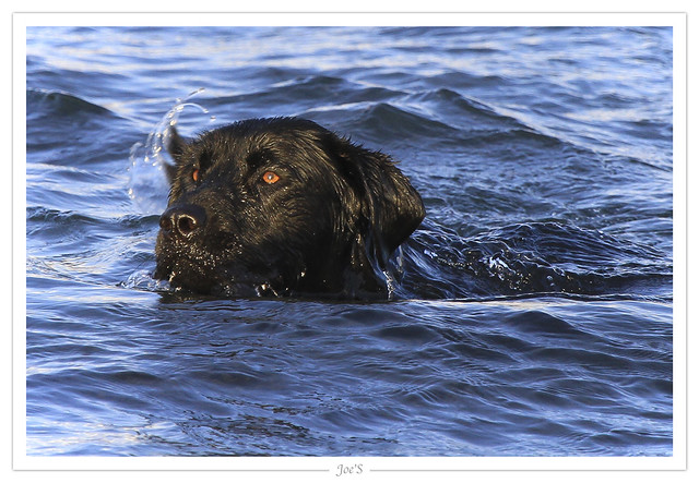 Swimming Newfoundland Terrier | Flickr - Photo Sharing! Newfoundland Swimming