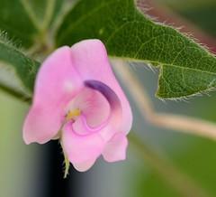 Strophostyles umbellata, Pink Fuzzybean