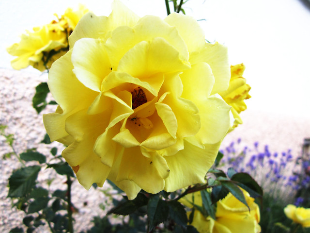 After summer rose in Yellows