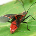 The Western Boxelder bug
