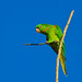 Brazilian Birds - Species # 059 - White-eyed Parakeet