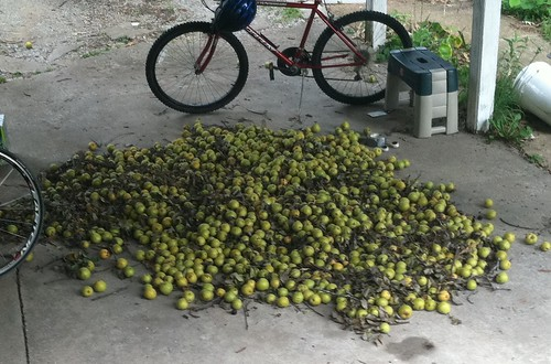 a tree's worth of pears