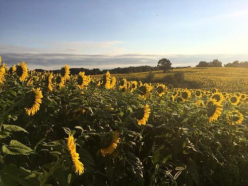 #sunflowers2016 #popefarmconservancy #sunrise #scottalynch