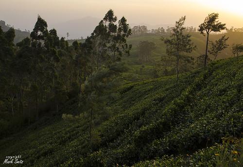 asia liptonsseat nature srilanka sunrise teaplantage