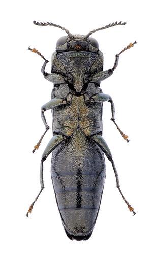 Agrilus adelphinus