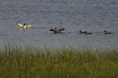 Five Loons_9330.jpg by Mully410 * Images