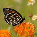 2012 Regal Fritillary Butterfly Tours