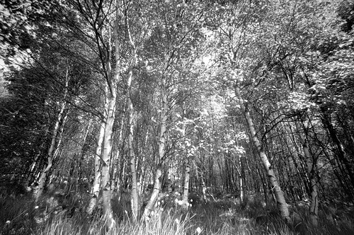 Birch Forest Hohes Venn by phototobi78