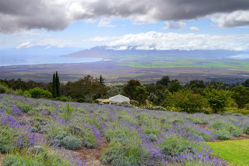 Scenes from the Kula Lavender Farm - Maui Upcountry