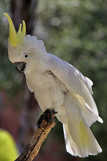 Yellow-crested Cockatoo.