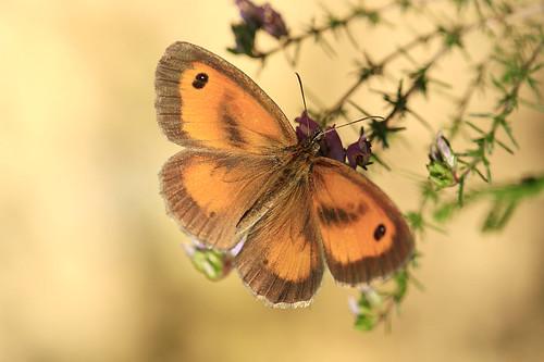 Mariposa -  Pyronia tithonus